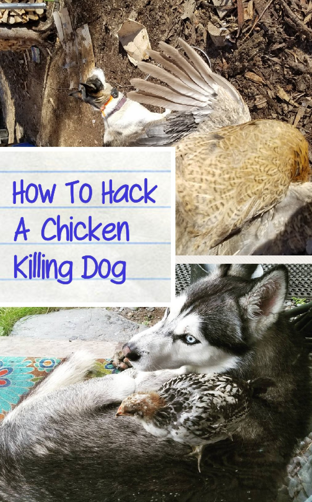 How To Hack A Chicken Killing Dog - SledDogSlow.com