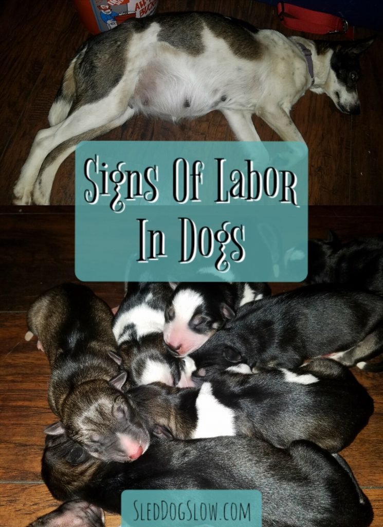 Sled Dog Slow - Signs Of Labor In Dogs