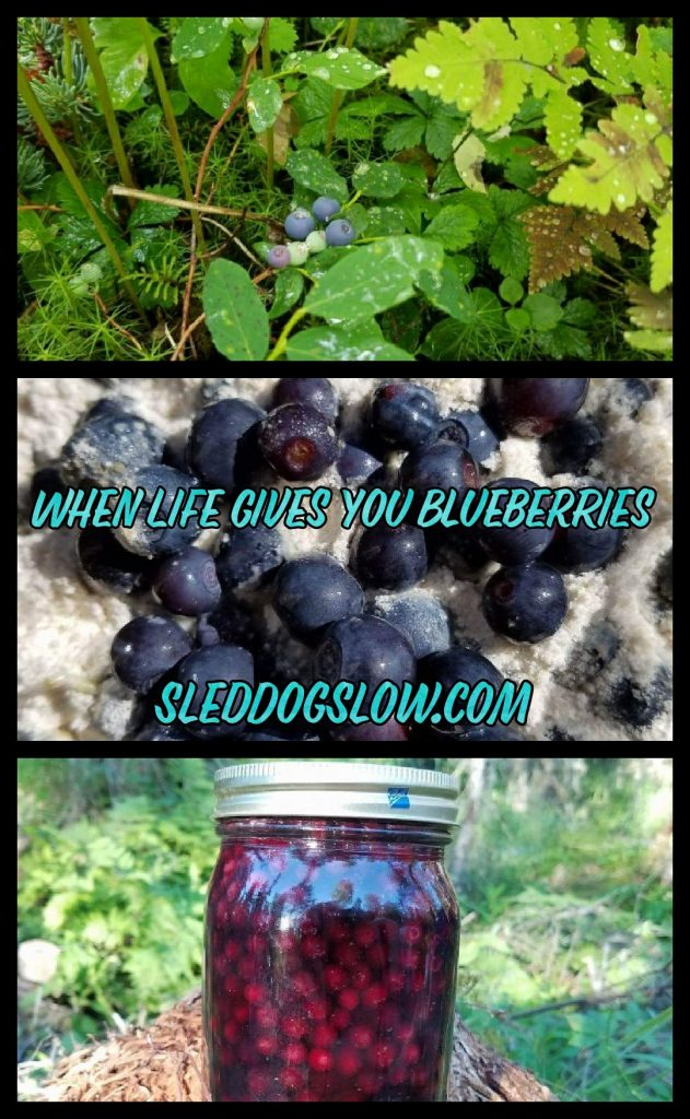 When Life Gives You Blueberries SledDogSlow.com